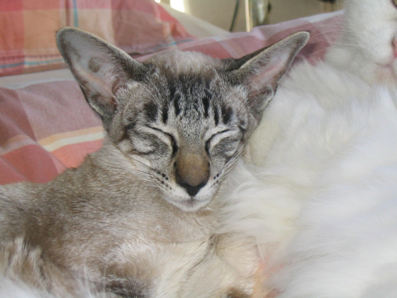 Siam seal-tabby-point