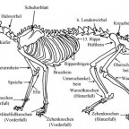Das Skelett der Katze