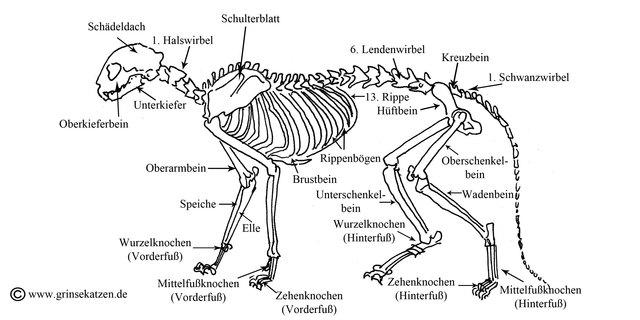 Das Skelett der Katze - Grinsekatzen - Das Katzenforum für Katzenfreunde